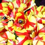 """Orange Yellow Tulips"" by jupiterqueen"