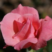 """Pink Rose"" by Mike Mudge"