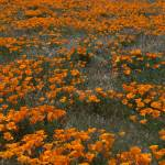 """""""California Poppies Blue Sky and White Clouds"""" by Eileen"""