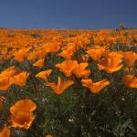 """""""Field of California Poppies"""" by Eileen"""