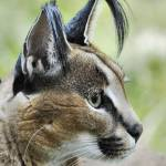 """Curious Caracal"" by HowardBagley"