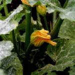 """Courgette flower 2"" by rhallam"