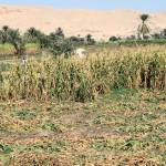 """Maize crop field in Luxor"" by rhallam"