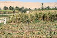 Maize crop field in Luxor