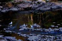 Sheepscot River Gulls