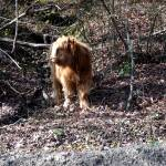 """Scottish Highlander Young Bull"" by EdmondHogge"