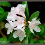 """Chapmans Rhododendron 2"" by BABowenphotography"