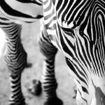 """""""Zebra 1"""" by grugster"""