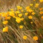 """""""Poppy Field"""" by kdawn"""