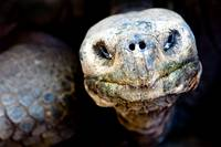 Wise Eyes Giant Tortoise