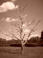 Dead Tree in the Park - Sepia