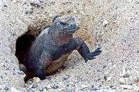 Marine Iguana coming out of its nest - Galapagos