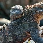 """Marine Iguana - Galapagos"" by BrianLewis"