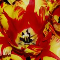 Tulip Flowers Art Prints & Posters by Trisha Lynne Smith