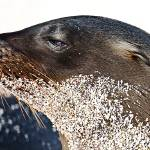 """Baby Sea Lion With Sand Beard - Galapagos"" by BrianLewis"