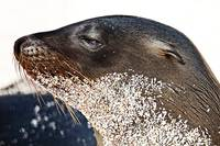 Baby Sea Lion With Sand Beard - Galapagos