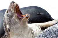Yawning Sea Lion - Galapagos