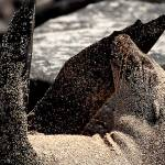 """Sea Lion Covered In Sand - Galapagos"" by BrianLewis"