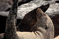Sea Lion Covered In Sand - Galapagos
