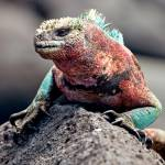 """Colorful Marine Iguana - Galapagos"" by BrianLewis"