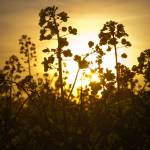 """Oil Seed Rape At Sunset"" by TonyDoddPhotography"