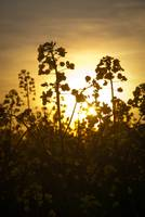 Oil Seed Rape At Sunset
