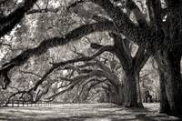 Boone Hall Pantation Avenue of Live Oaks