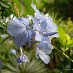 """Plumbago."" by scottkwimer"