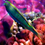 """""""wrasse and raspberry"""" by phototes"""