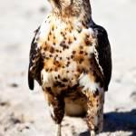 """""""Galapagos Hawk"""" by BrianLewis"""