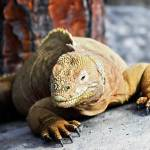 """Yellow Iguana - Galapagos"" by BrianLewis"