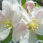 """Apple Blossoms art prints Spring Trees Baslee"" by BasleeTroutman"