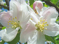 Apple Blossoms art prints Spring Trees Baslee