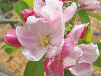 Apple Blossoms Pink Spring Art Print Baslee