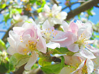Tree Blossoms art prints Pink Apple Blossom Baslee