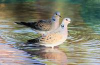 Pair of turtle doves 2