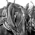 """Percheron Draft Horse Mare in Harness"" by JMcQ"