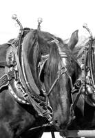 Percheron Draft Horse Mare in Harness