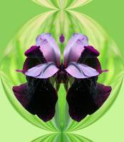 Purple iris reflection