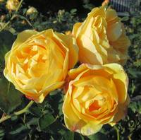 Trio of yellow roses