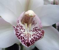 White Cymbidium orchid flower