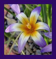 Purple and yellow flower in purple frame