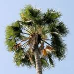 """Palm tree 3"" by rhallam"