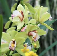 Pale green cymbidium Orchid