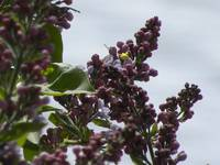 Lilacs just starting to bloom