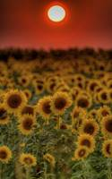 August Sunset and Sunflowers