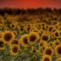 August Sunset and Sunflowers by Jim Crotty