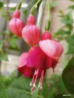 Soft Red Fuchsia Flowers