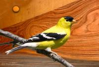 goldfinch male