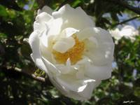 Old Fashioned White Rose 2